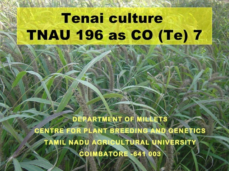 Tenai cultureTNAU 196 as CO (Te) 7        DEPARTMENT OF MILLETSCENTRE FOR PLANT BREEDING AND GENETICS  TAMIL NADU AGRICULT...