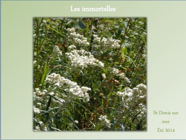 Les immortelles  St-Denis sur  mer  Été 2014