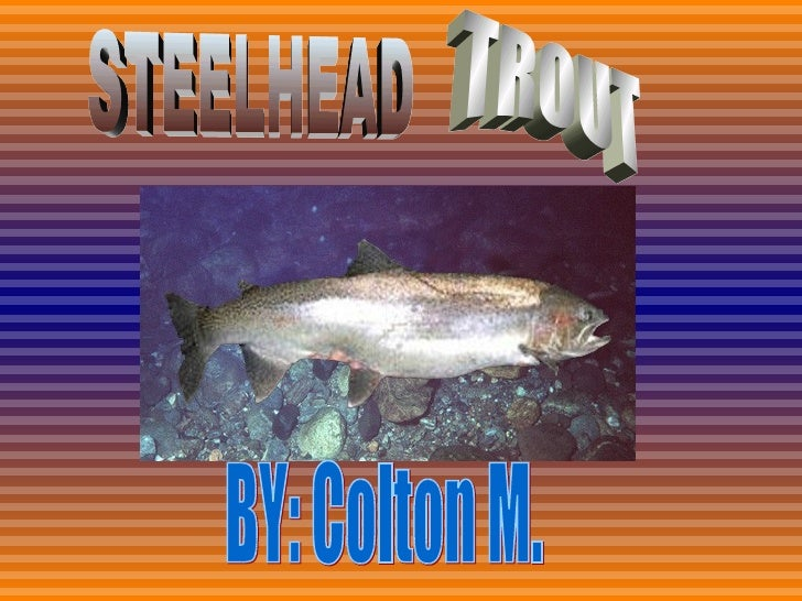 BY: Colton M. STEELHEAD  TROUT
