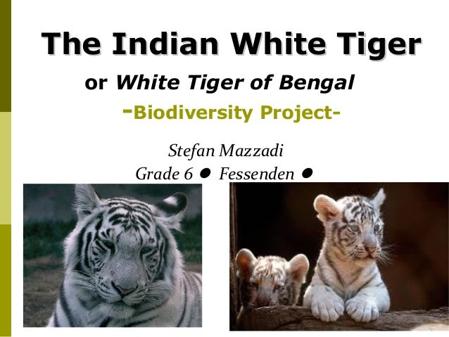 The Indian White Tiger  or White Tiger of Bengal     -Biodiversity Project-          Stefan Mazzadi      Grade 6  Fessend...