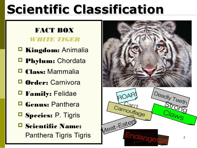 Bengal tiger classification