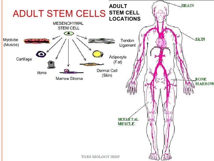 What Is An Adult Stem Cell 17