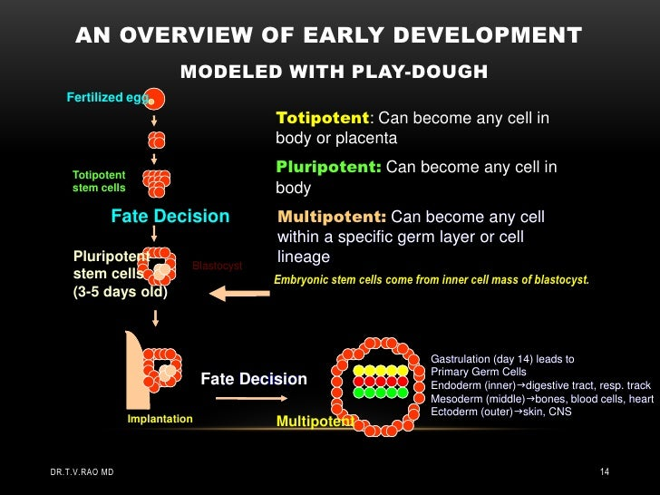 AN OVERVIEW OF EARLY DEVELOPMENT                          MODELED WITH PLAY-DOUGH   Fertilized egg                        ...