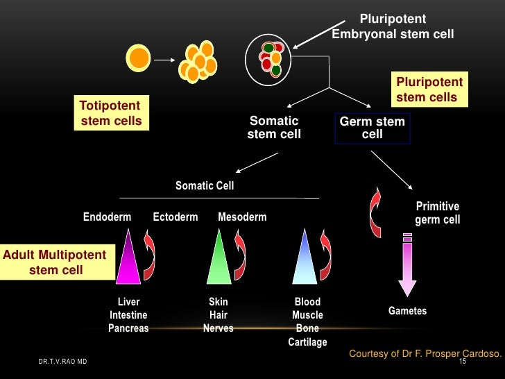 Pluripotent                                                                       Embryonal stem cell                     ...