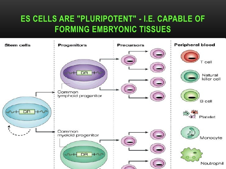 """ES CELLS ARE """"PLURIPOTENT"""" - I.E. CAPABLE OF          FORMING EMBRYONIC TISSUESDR.T.V.RAO MD                              ..."""