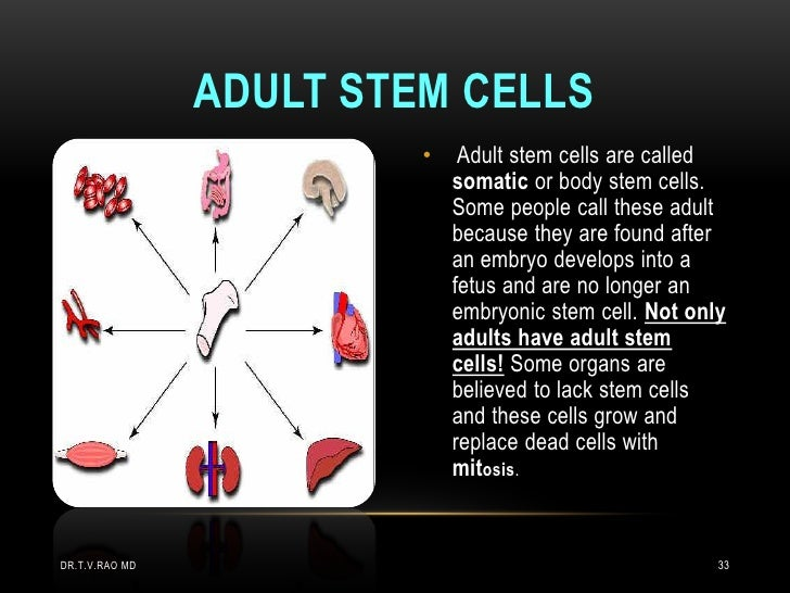ADULT STEM CELLS                         •    Adult stem cells are called                             somatic or body stem...