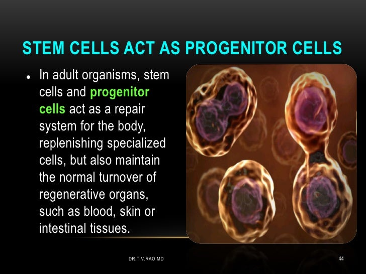 STEM CELLS ACT AS PROGENITOR CELLS   In adult organisms, stem    cells and progenitor    cells act as a repair    system ...
