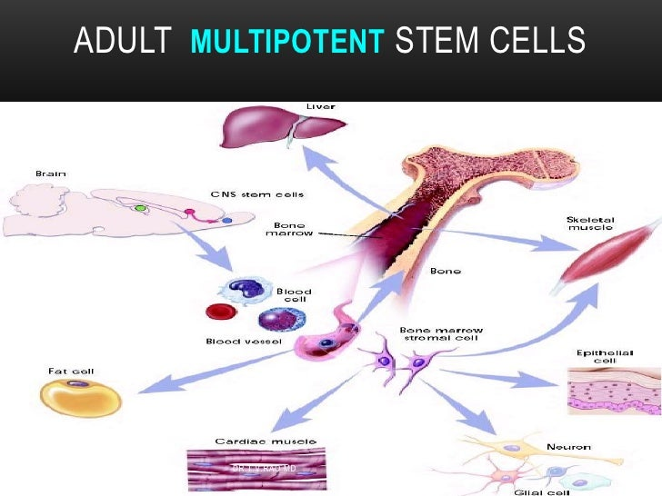 about adult stem cells