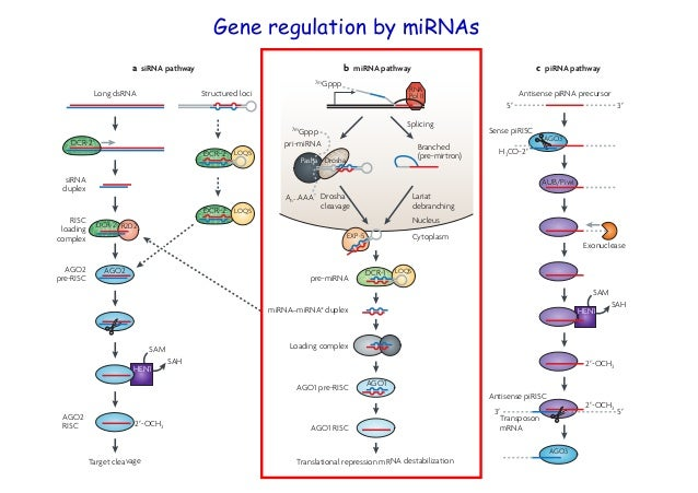 Mirna Dcr Pasha Nature Reviews Genetics