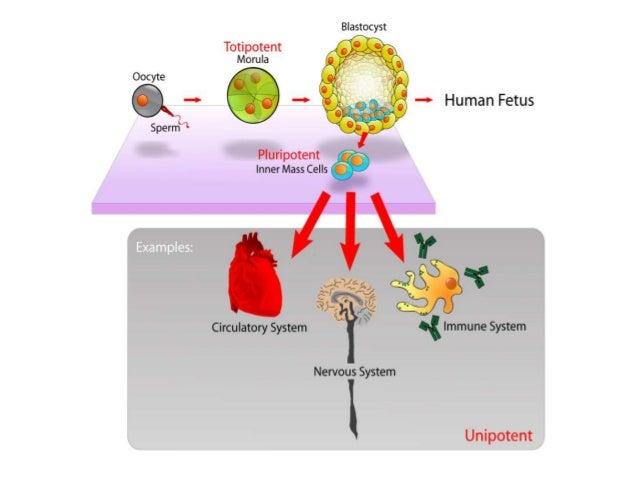 cell type (spermatogonia)