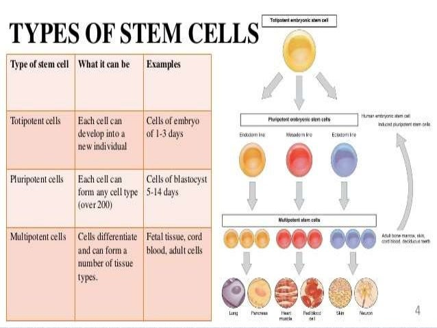 human embryonic stem cells essay
