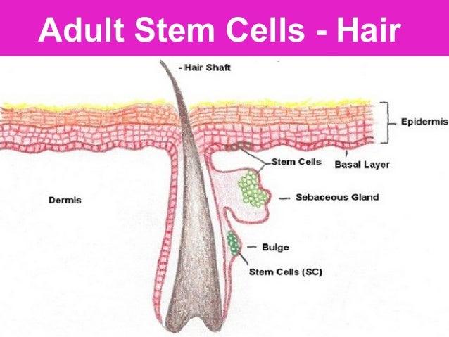 Dental Pulp Menstrual Blood