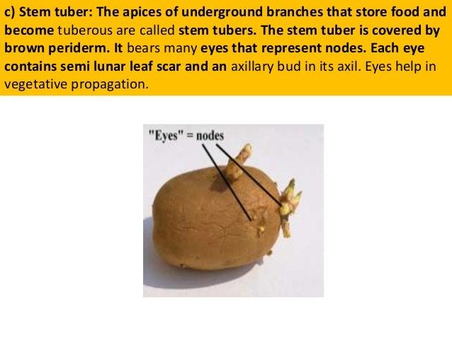 Tuber stem