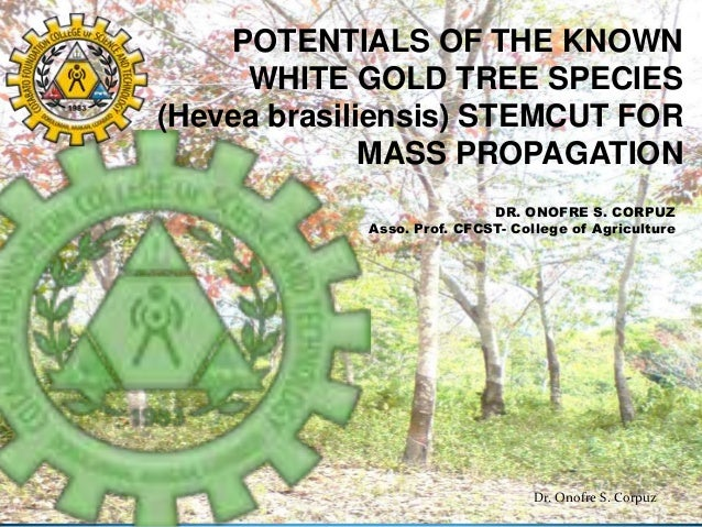 POTENTIALS OF THE KNOWN WHITE GOLD TREE SPECIES (Hevea brasiliensis) STEMCUT FOR MASS PROPAGATION DR. ONOFRE S. CORPUZ Ass...