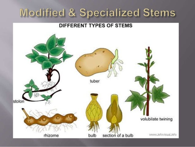 Food Stored In Stem