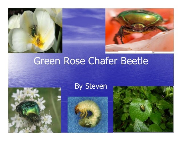 Green Rose Chafer Beetle        By Steven