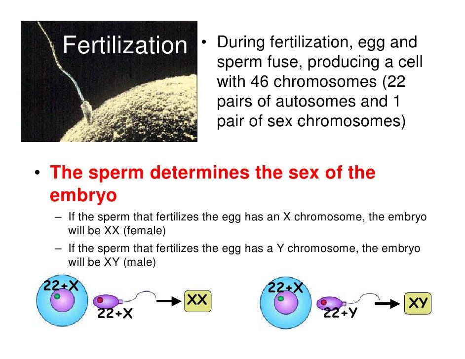 Fertilization             • During fertilization, egg and                               sperm fuse, producing a cell      ...