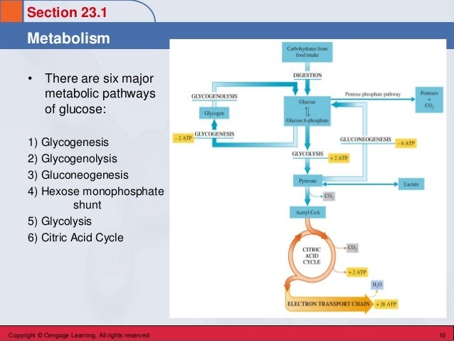 Metabolism Section 23.1 • There are six major metabolic pathways of glucose: 1) Glycogenesis 2) Glycogenolysis 3) Gluconeo...