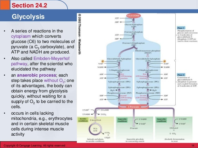 Section 24.2 Glycolysis Copyright © Cengage Learning. All rights reserved 14 • A series of reactions in the cytoplasm whic...