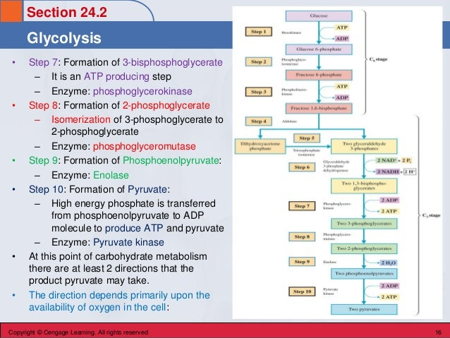 Section 24.2 Glycolysis Copyright © Cengage Learning. All rights reserved 16 • Step 7: Formation of 3-bisphosphoglycerate ...