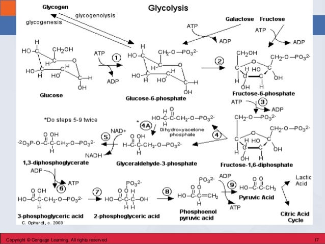 Section 24.2 Glycolysis Copyright © Cengage Learning. All rights reserved 17