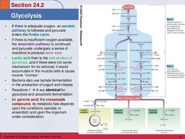 Section 24.2 Glycolysis Copyright © Cengage Learning. All rights reserved 18 • If there is adequate oxygen, an aerobic pat...