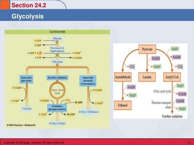Section 24.2 Glycolysis Copyright © Cengage Learning. All rights reserved 19