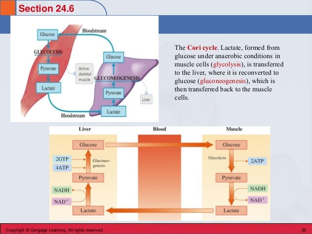 Section 24.6 Gluconeogenesis Copyright © Cengage Learning. All rights reserved 20 The Cori cycle. Lactate, formed from glu...