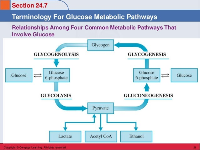 Section 24.7 Terminology For Glucose Metabolic Pathways Copyright © Cengage Learning. All rights reserved 21 Relationships...