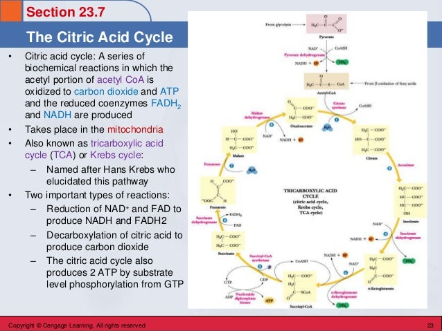 Section 23.7 The Citric Acid Cycle Copyright © Cengage Learning. All rights reserved 23 • Citric acid cycle: A series of b...