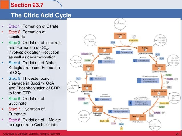 Section 23.7 The Citric Acid Cycle Copyright © Cengage Learning. All rights reserved 24 • Step 1: Formation of Citrate • S...