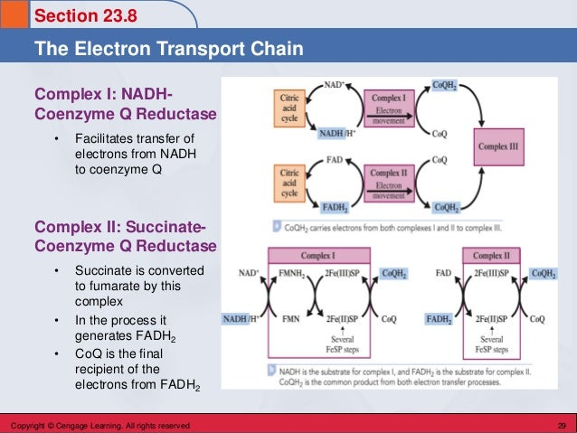 Section 23.8 The Electron Transport Chain Copyright © Cengage Learning. All rights reserved 29 Complex I: NADH- Coenzyme Q...