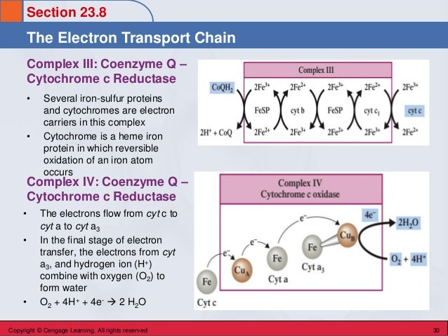 Section 23.8 The Electron Transport Chain Copyright © Cengage Learning. All rights reserved 30 Complex III: Coenzyme Q – C...