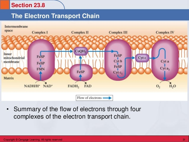 Section 23.8 The Electron Transport Chain Copyright © Cengage Learning. All rights reserved 31 • Summary of the flow of el...