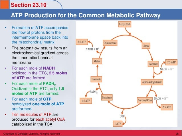 Section 23.10 ATP Production for the Common Metabolic Pathway Copyright © Cengage Learning. All rights reserved 35 • Forma...