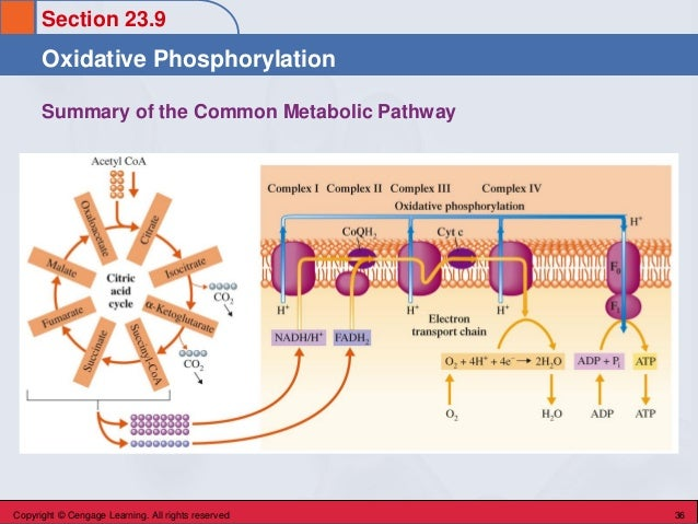 Section 23.9 Oxidative Phosphorylation Copyright © Cengage Learning. All rights reserved 36 Summary of the Common Metaboli...