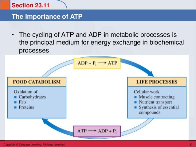 Section 23.11 The Importance of ATP Copyright © Cengage Learning. All rights reserved 40 • The cycling of ATP and ADP in m...