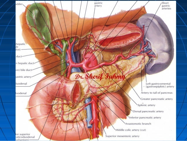 Anatomy of the stomach and abdomen