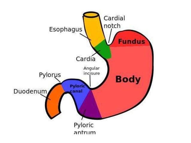 Liver Definition For Kids