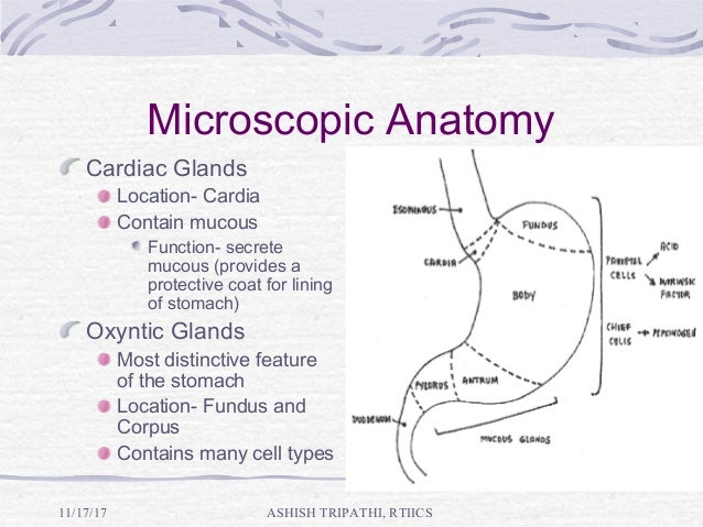 Stomach Anatomy And Physiology