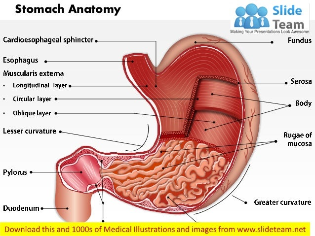Stomach Anatomy Medical Images For Power Point