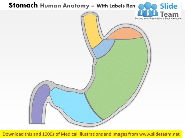 Stomach Diagram No Labels Diagram Digestive System Diagram No Labels