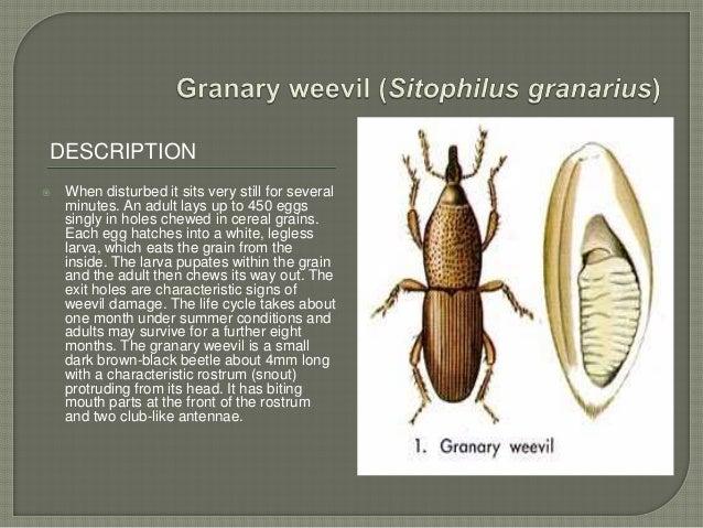 Granary weevil life cycle