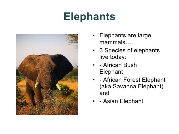 Elephants <ul><li>Elephants are large mammals…. </li></ul><ul><li>3 Species of elephants live today: </li></ul><ul><li>- A...