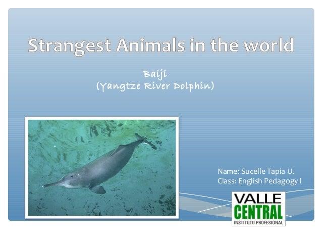 Baiji(Yangtze River Dolphin)Name: Sucelle Tapia U.Class: English Pedagogy l