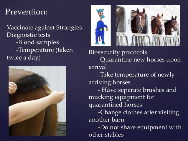 prevention of strangles in horses Most horses that have recovered from strangles are immune for up to 5  none of  the vaccines guarantee prevention of strangles, they may.