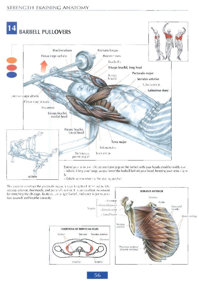Strenght training anatomy