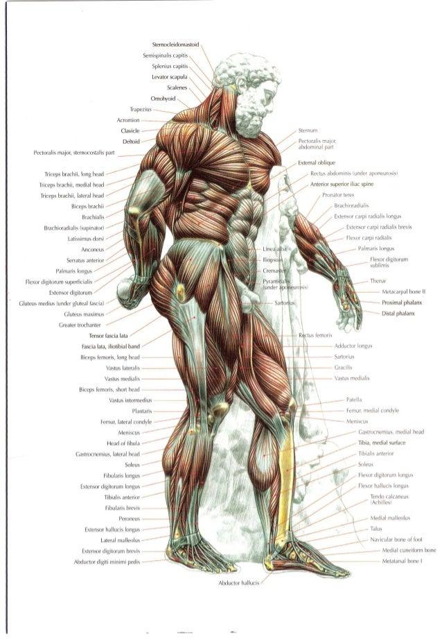 Weight Training Anatomy Image collections - human body anatomy