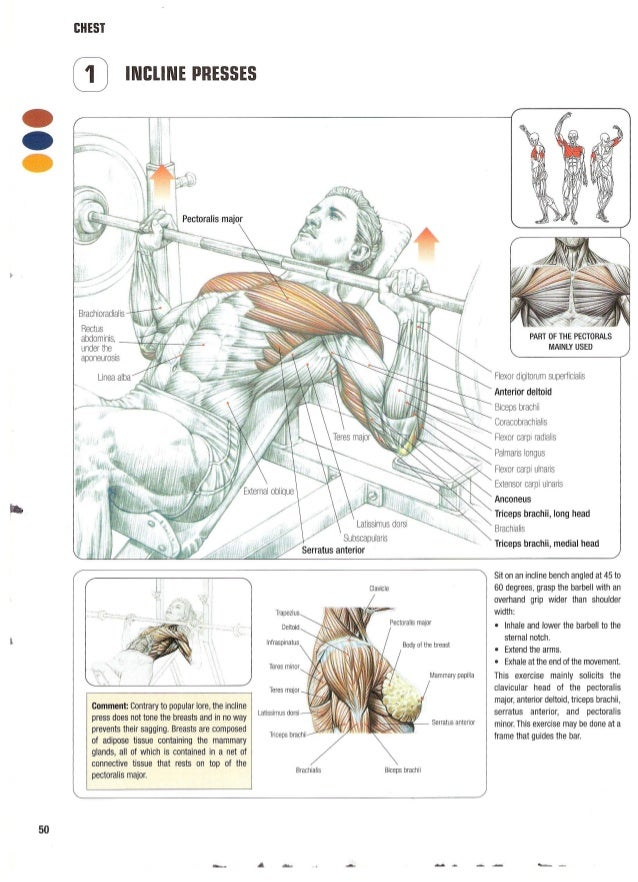 Enchanting Strength Training Anatomy Poster Embellishment - Human ...