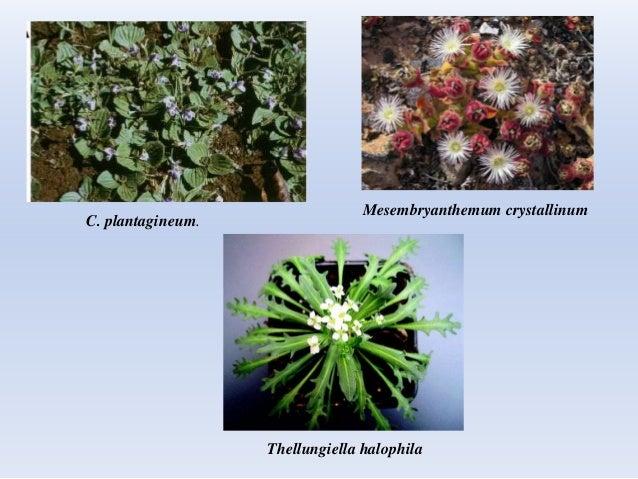 C. plantagineum. Mesembryanthemum crystallinum Thellungiella halophila